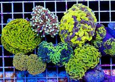One of my favorite corals - Aussie Hammer Varieties