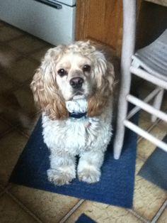 Toffee, rescued American Cocker Spaniel