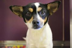 #KANSAS ~ Flopsie is a Spayed 4yo Rat Terrier - I've been here a long time b/c I've been waiting to get HW treatment. There was a shortage on the meds, I'm on the road to recovery now. All this time in the shelter has made me skeert so when you come to my kennel, I probably won't be the cute little dog that rushes to the front of the kennel door. No, I'll probably be the  cautious 1 at the GREAT PLAINS SPCA MERRIAM 5424 Antioch Dr #Mission KS 66202 adoptions@greatplainsspca.org Ph…