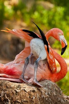 **A baby flamingo with a fluffy bum tries hiding under her mom.