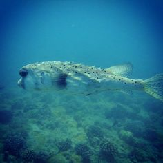 #Hawaii #scuba #diving http://ift.tt/1MPvLEI @hawaiiscubadiving