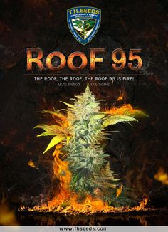 """NEW STRAIN!!  Now, Introducing to you - The ROOF 95! -  """"The Roof, the Roof, the Roof 95 is Fire!  Buy Now at www.thseeds.com & www.thgifts.com"""
