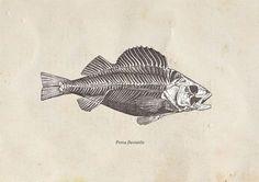 Fish Drawing Print European Perch Vintage