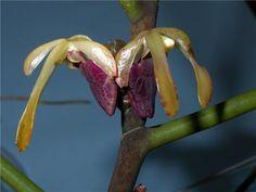 Luisia Antennifera | Luisia antennifera | Orchids | Pinterest