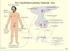 hypothalamus gonadotropin releasing hormone feedback - Google Search