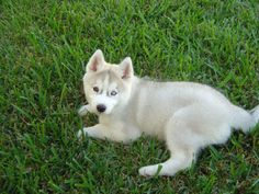 Miniature And Mix Siberian Husky Dogs