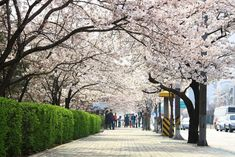 Forging Lifestyle Through Entertainment (KPop Korean Pop Singapore Malaysia Arquitectura Wallpaper, Places To Travel, Places To See, Cherry Blossom Season, Cherry Blossoms, Kpop Backgrounds, South Korea Seoul, Singapore Malaysia, Flower Festival