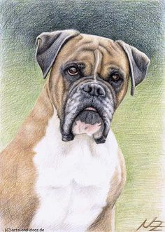 Boxer drawing by Nicole Zeug, www.arts-and-dogs.de