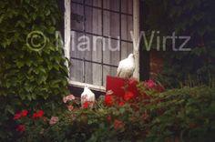 Tauben am Fenster