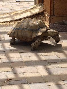 Sulcatta tortoise Kingsley
