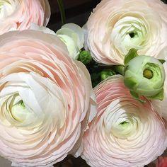 the prettiest pale pink ranaculus. Ranunculus Flowers, Flower Vases, Flower Arrangements, Herb Garden Pallet, Pallets Garden, Flower Background Wallpaper, Flower Backgrounds, Cedar Raised Garden Beds, Garden Shelves