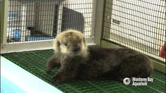 Rescue baby otter <3 #imgur