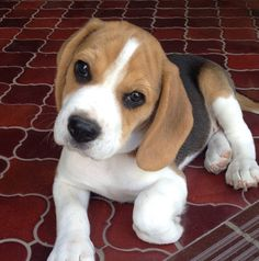 Are you interested in a Beagle? Well, the Beagle is one of the few popular dogs that will adapt much faster to any home. Whether you have a large family, p Cute Beagles, Cute Puppies, Cute Dogs, Dogs And Puppies, Doggies, Toy Dogs, Baby Beagle, Beagle Puppy, Cute Baby Animals