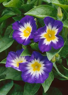 Bush morning glory is the perfect pick for gardeners who love morning glories but don't have the space. This lower-growing annual usually stays under 2 feet tall and bears trumpet-shape flowers in jewel-tone shades of blue, white, and pink. It's a fun choice for containers when cascading down the sides.