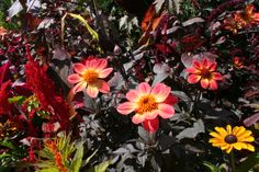 Dahlia 'Happy Single Flame'. For more information on these great plants, check out The Plant Lover's Guide to Dahlias.  #plantlover