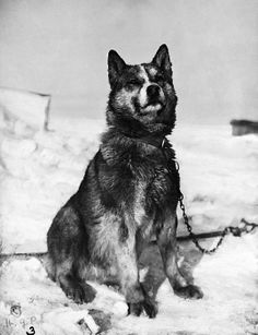 TERRA NOVA EXPEDITION. Chris, one of the sled dogs of the Terra Nova Expedition to the South Pole, led by Captain Robert Falcon Scott. Photograph by Herbert Ponting, 1910 or 1911.