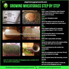 Learn how to grow wheatgrass indoors: A step by step guide