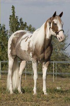 American Paint Horse, American Quarter Horse, Quarter Horses, Andalusian Horse, Friesian Horse, Arabian Horses, Most Beautiful Horses, All The Pretty Horses, Cute Horses