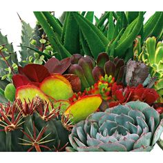 Cacti And Succulents (Mixed) (Lwaltcs) Succulent Gardening, Succulents Garden, Succulent Containers, Planting Bulbs, Planting Flowers, Indoor Tropical Plants, Bulbs And Seeds, Cactus Care, How To Make Terrariums