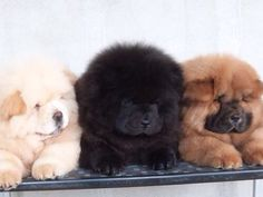 Chow Chow puppies. Cream, black and cinnamon.