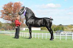 Windemere's North American Maid (Moose), Percheron Stallion