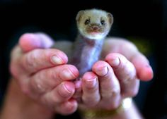 weasel  Found in Europe, North Africa, North America and New Zealand