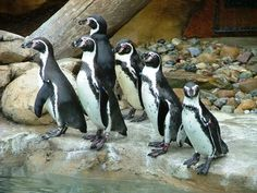 Humboldt Penguins at the Akron Zoo. They have on their tuxedos, and they're all ready to go!