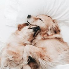 Cuddly Golden Retrievers