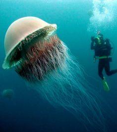 Foto : A água viva de nomura é uma das maiores conhecidas. Seu tamanho pode atingir em alguns casos dois metros de diâmetro