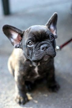 french bull dog puppy:) ohmygoodnesss i want one so bad. a little girl puppy! i love their huge earss!! obsessseddd <3