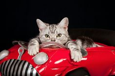 WHAT!  An outrage!!!  Did a dog lover/cat hater write this article?  Cats might make you go a little crazy, particularly when you're behind the wheel.