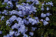 Plumbago is a drought-tolerant shrub that thrives in full sun and produces a per. Plumbago is a dr Texas Plants, Florida Plants, Florida Gardening, Texas Gardening, Gardening Tips, Drought Tolerant Shrubs, Drought Resistant Plants, Landscaping Plants, Garden Plants