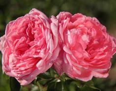 La Rose de Molinard (Palatine Roses)