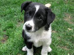 border collier | border collie x 2 : Puppies for Sale : Dogs for sale in Ontario ...