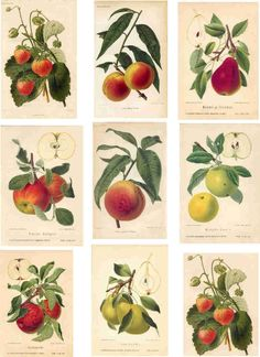 Fruit botanical prints                                                                                                                                                                                 Mais