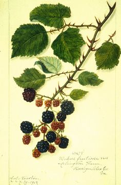 Rubus fruticosa National Agriculture Library