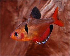 Serpae Tetra - added 5 to the pond today