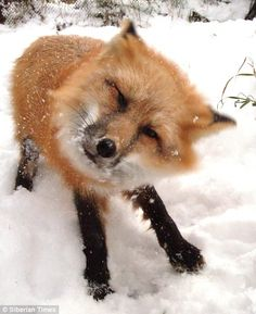 Snow baby: Anna the fox has lived with Russian scientist Irina Mukhamedshina since she was a kit. She has been trained to follow as many commands as a pet dog