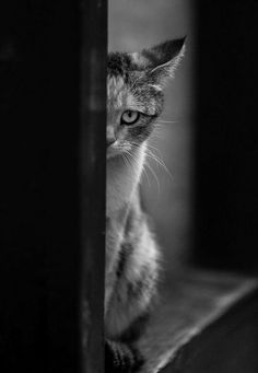 crescentmoon b & w Beautiful Cats, Animals Beautiful, Cute Animals, I Love Cats, Cool Cats, Kittens Cutest, Cats And Kittens, Photo Trop Belle, Fancy Cats