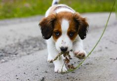 #Kooikerhondje / #kooiker Aria 11 weeks old. Miss the #puppy period!