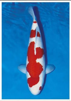 What Is The Distinct Characteristics Of Momotaro Koi???? Have you heard of Momotaro Koi? Do you know what its distinct characteristics are? Are you aware that this type of Koi Fish is grown to a huge size that makes them qualify to participate in an international competition of Koi Fish breeders? It's true, serious enthusiasts and Koi breeders are taking so much time and effort to breed this type of Koi fish to compete, and they take pride if they win.