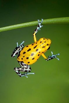 This frog, along with others, might be cute or pretty, but they are also poisonous.