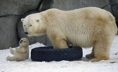 Polar bear cub plays with his mother in Moscow zoo.