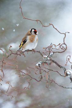 Jilguero en la nieve