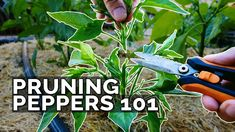 Pruning Pepper Plants 101: Is It Even Necessary? Stuffed Banana Peppers, Stuffed Green Peppers, Growing Peppers, Growing Greens, Pepper Plants, Gardening Tips, Vegetable Gardening, Garden Seeds, Seed Starting