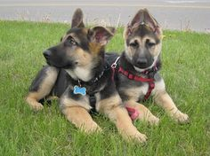 Our German Shepherd Puppies 2010, Kuda and Kate