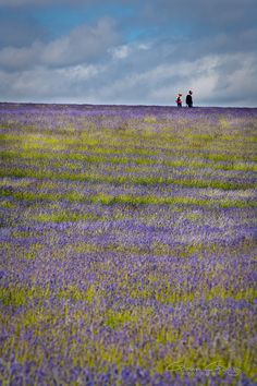 Snowshill Lavender, Cotswolds, England