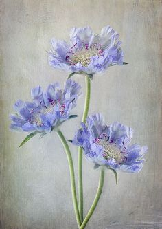 Sweet Scabious by Mandy Disher Art Floral, Illustration Botanique, Illustration Art, Watercolor Flowers, Watercolor Paintings, Art Bleu, Impressions Botaniques, Drawn Art, Pastel Art