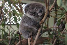Baby koalas are so fluffy.