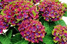 Hydrangea macrophylla 'Schloss Wackerbarth' grows to 1m high, with three-colour flowers.